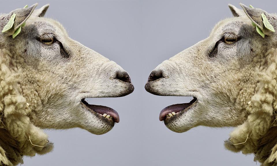sheep-2372148_960_720
